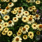 Echinacea 'Sombrero Sandy Yellow'