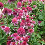 Echinacea 'Double Scoop Bubble Gum'