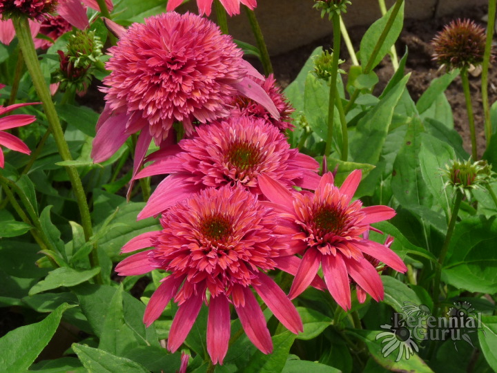 Echinacea 'Double Scoop Raspberry'