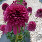 Echinacea 'Secret Affair'