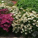 Echinacea 'PowWow' series