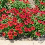 Echinacea 'Sombrero Hot Salsa'