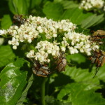 Arrowwood viburnum (Viburnun dentatum) with rose chafers