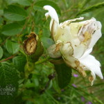 rose chafer damage to rose