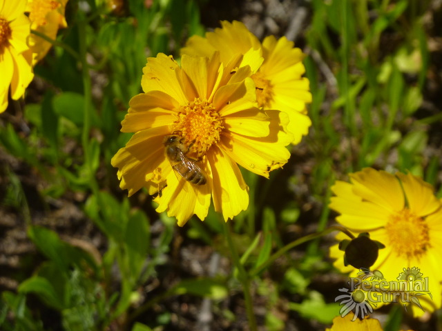 Coreopsis lanceolata with honeybee