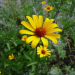 Heliopsis helianthoides var scabra 'Summer Nights'