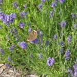 Lavandula with common buckeye buttefly