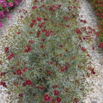 Coreopsis Permathread Red Satin